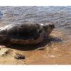 Deniz kaplumbağaları için farkındalık çağrısı